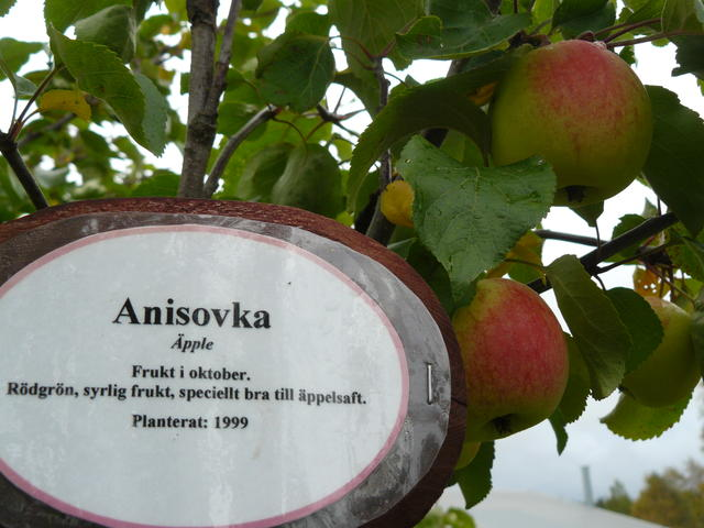 Anisovka