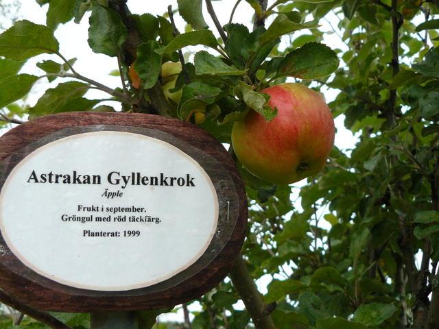 Astrakan Gyllenkrok